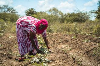 Kenialainen Halima korjaa satoa pellolla. Nenäpäivä tukee Fidan työtä Keniassa.